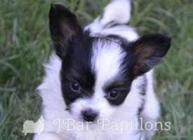 Available Papillons